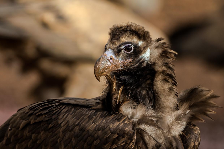 cinereous vulture aegypius vulture