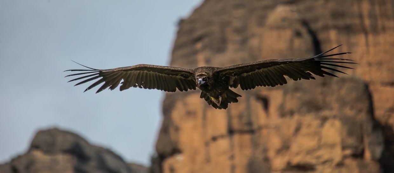 monachus cinereous vulture aegypius vulture
