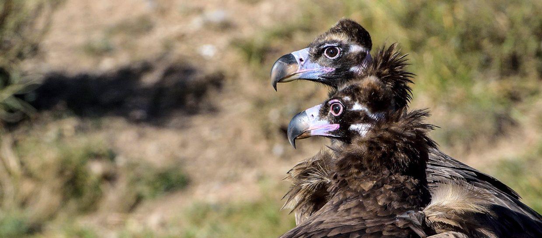 monachus cinereous vulture aegypius