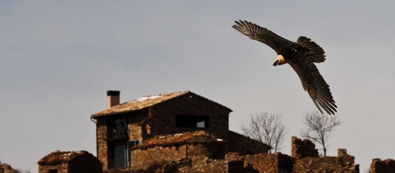 bearded vulture gypaetus barbatus buseu birdwatching