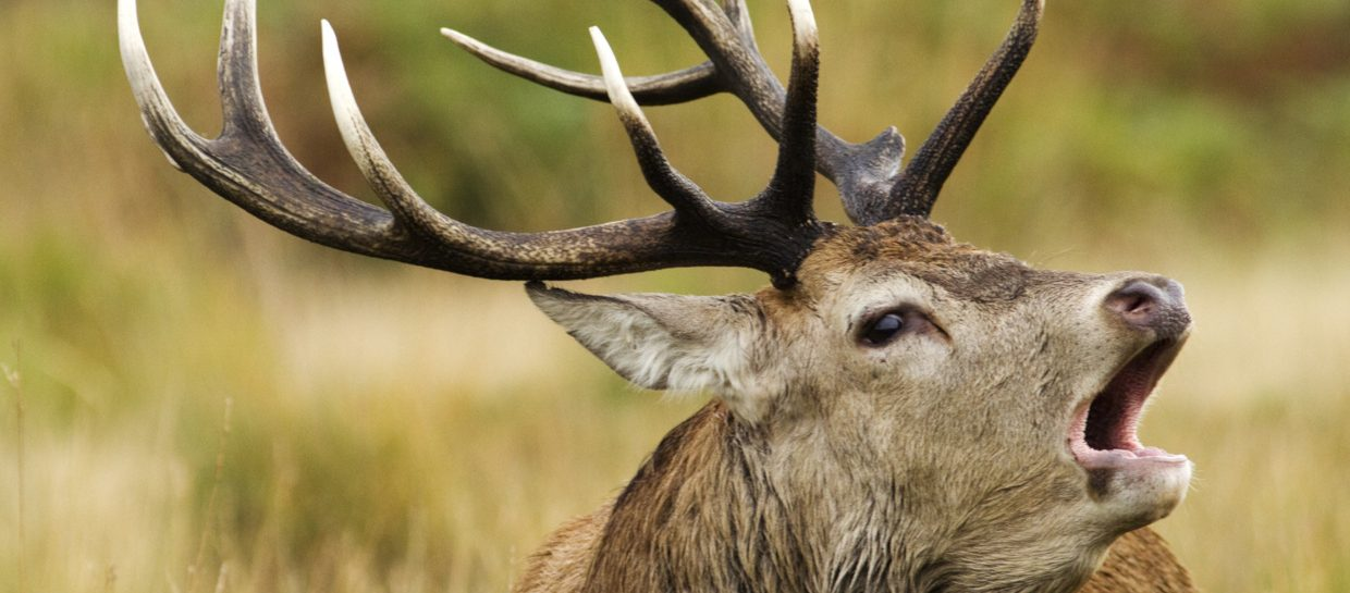 A red deer stag bellowing